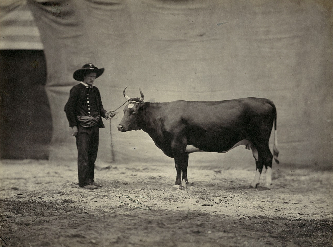 Bretonne Cow, with Handler